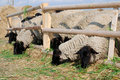 Sheeps du Suffolk Photos stock