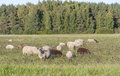 Sheeps eat on grass field many brown and white sheep or hay Royalty Free Stock Photography