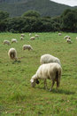 Sheeps in a field Stock Images