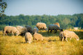 Sheeps flock of eating grass on a hill Royalty Free Stock Image
