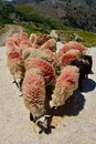 Sheeps getting fed in the mountains marked with red color as its owner can better find them Stock Photography
