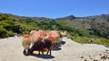Sheeps getting fed in the mountains marked with red color as its owner can better find them Stock Photo