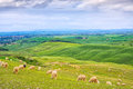 Sheeps grazing in green fields in orcia valley siena tuscany italy rolling hills on background Stock Photo