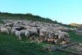 Sheeps are grazing in green meadow harghita mounatain romania Royalty Free Stock Image
