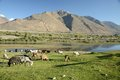 Sheeps grazing on a hill flock of in pamir tajikistan Stock Photos