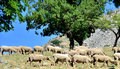 Sheeps grazing macin mountains romania Royalty Free Stock Photos