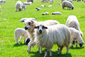 Sheeps on green grass flock of the meadow at sunny day Stock Photo