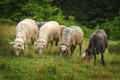 Sheeps herd of close up Stock Images