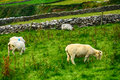Sheeps, Kerry, Ireland Royalty Free Stock Photo