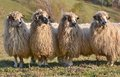 Sheep looking one way Royalty Free Stock Photo