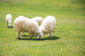 Sheeps in a meadow Stock Photography