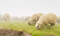 Sheeps at meadow eating fresh grass Stock Image