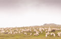 Sheeps at meadow eating fresh grass Royalty Free Stock Photo