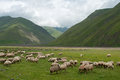 Sheeps in mountains this is a green meadow with are the background Royalty Free Stock Photography