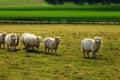 Sheeps near Stonehenge landscape England Royalty Free Stock Photo
