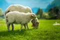 Sheeps of norway beautiful in the valleys Royalty Free Stock Photo