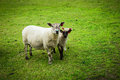 Sheeps of norway beautiful in the valleys Royalty Free Stock Photography