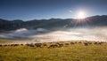 Sheeps (Ovis aries)