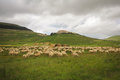 Sheeps on pasture in the mountain Stock Photography