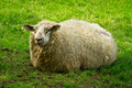 Sheeps resting on the meadow Royalty Free Stock Images
