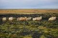 Sheeps on rocky volcanic landscape Stock Image