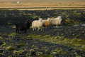 Sheeps on rocky volcanic landscape Royalty Free Stock Images