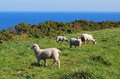 Sheeps by the sea. Royalty Free Stock Photo