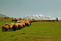 Sheeps shepherd picture of a with his in the clean nature Royalty Free Stock Images