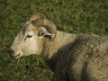 Sheeps in the spring time at germany Stock Photography