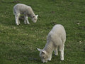 Sheeps in springtime at germany Royalty Free Stock Image