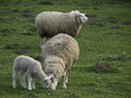 Sheeps in springtime at germany Royalty Free Stock Photos