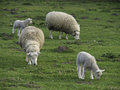 Sheeps in springtime at germany Royalty Free Stock Photo
