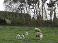 Sheeps in springtime at germany Royalty Free Stock Photography