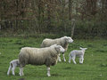 Sheeps in springtime at germany Stock Photography