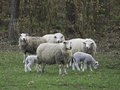 Sheeps in springtime at germany Stock Photos