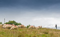 Sheeps supervised by the shepherd eating grass on meadow Royalty Free Stock Photos
