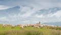 Sheeps supervised by the shepherd eating grass on meadow Stock Images