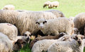 Sheeps from transylvania painted with colours to be identified by their owners Stock Image