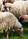 Sheeps from transylvania painted with colours to be identified by their owners Stock Photo