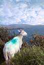 Sheeps view of atlantic and mountains of ireland Royalty Free Stock Photos