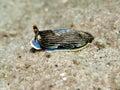 Sheild Slug - Armina semperi Royalty Free Stock Photo