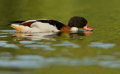 Shelduck commun Images stock