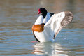 Shelduck duck flapping its wings to warm up your muscles tadorna tadorna Stock Image
