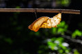 Shell chrysalis of common birdwing butterfly Royalty Free Stock Photo
