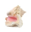Shell mollusks on white background with clipping path Royalty Free Stock Images