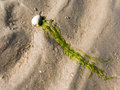 Shell and seaweed on sand Royalty Free Stock Photo