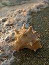 Shell- und Seeschaumgummi Stockbilder