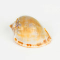 Shellfish on Isolated White Background Royalty Free Stock Photo