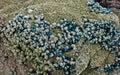 Shellfish on wave-washed rocks Royalty Free Stock Photo
