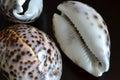 Shells of cypraea tigris on a dark background Royalty Free Stock Photos